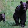 Sürgősségi eljárást kérnek az RMDSZ képviselői a medve kilövési kvótát illetően
