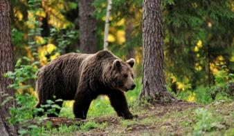 Egy baltával tudta megfékezni a rátámadó medvét egy férfi Székelyföldön