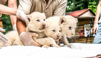 Három fehér oroszlán született a Nyíregyházi Állatparkban!