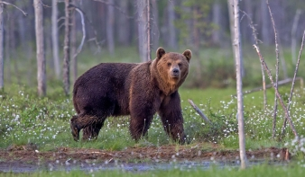 """""""Csapdá""""-ban   az erdő  nagyvadja, a barnamedve"""