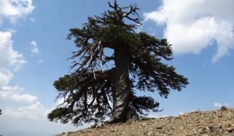 1075 éves fenyő Európa legöregebb fája