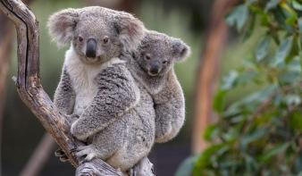 A kihalás szélére kerültek a koalák