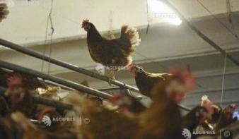 Újabb madárinfluenzás farmot fedeztek fel Szinérváralján