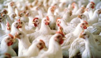 A vírusfertőzés miatt el kell pusztítani egy Máramaros megyei tyúkfarm állományát