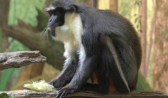 Univerzálisabb lehet a majomnyelv, mint hittük