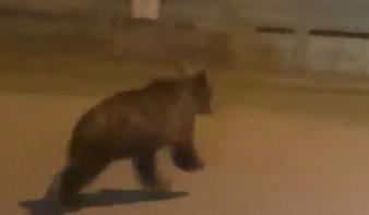 Autóval üldözték Aranyosgyéres település első dokumentált medvéjét