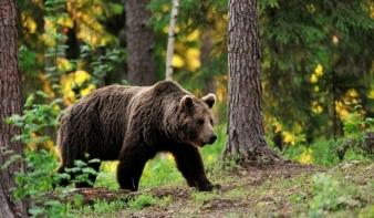 Csak Maros megyében több mint száz alkalommal okoztak kárt a medvék idén