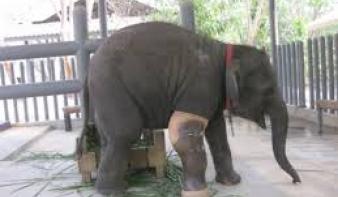Művégtagot kapott a háromlábú elefánt - videó