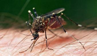 Újabb rovarirtási kampány indul Nagybányán
