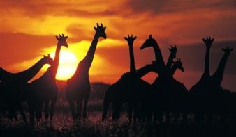 Vészesen fogynak a zsiráfok
